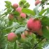 Обустройство загородного дома: создаем фруктовый сад